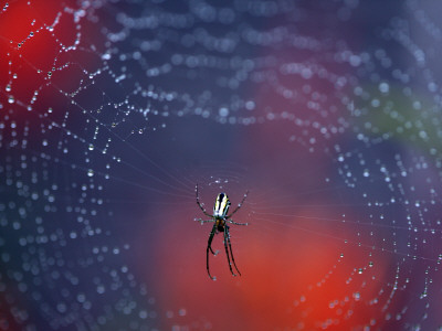 Spider in Centre of Web Covered in Rain Droplets Fotografisk tryk af Paul Kennedy