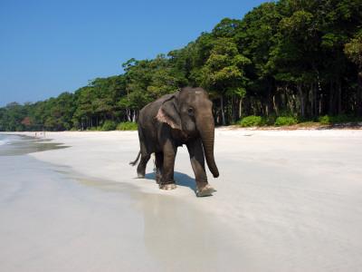Indian Elephant (Elephas Maximus Indicus) Striding Along White Sand of Radhanagar Beach Photographic Print by Astrid Schweigert