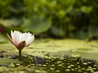 Water Lilly in Sapporo Botanical Garden Photographic Print by Shayne Hill