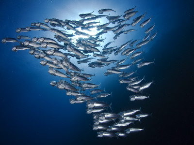 Sardine Shoal Photographic Print by Mark Webster