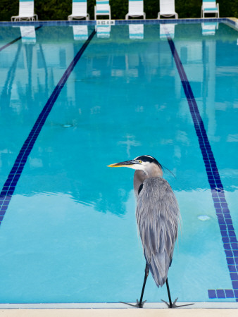 Heron at Pool Photographic Print by Thomas Winz