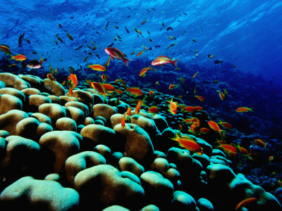 School of Anthias over Brain Coral - Red Sea, Ras Mohammed National Par Photographic Print by Mark Webster