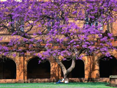 A Large Jacaranda Tree in the Corner of the Main Building Quadrangle at Sydney University Photographic Print by Ross Barnett