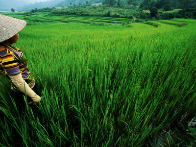Wet Rice Is Commonly Grown in Terraced Mountain Valleys of Northern Vietnam, Tran Nua Photographic Print by Stu Smucker