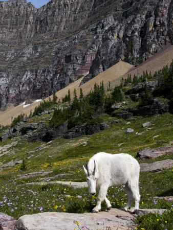 Mountain Goat (Oreamnos Americanus) Lmina fotogrfica