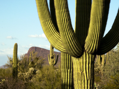 Cacti in West Unit of Saguaro National Park Photographic Print by Mark Newman