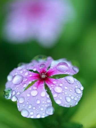 Detail of Flower and Rain Drops Fotografisk tryk af Paul Kennedy