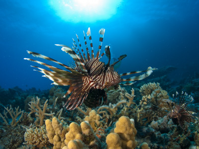 Lion Fish over Reef, Abu Galowa Reef, Fury Shoal, Red Sea Photographic Print by Mark Webster
