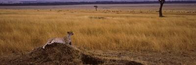 Cheetah (Acinonyx Jubatus) Sitting On a Mound, Masai Mara National Reserve, Kenya Wall Decal by  Panoramic Images