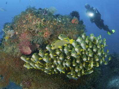Diver and Schooling Sweetlip Fish Next To Reef, Raja Ampat, Papua, Indonesia Photographic Print by  Jones-Shimlock