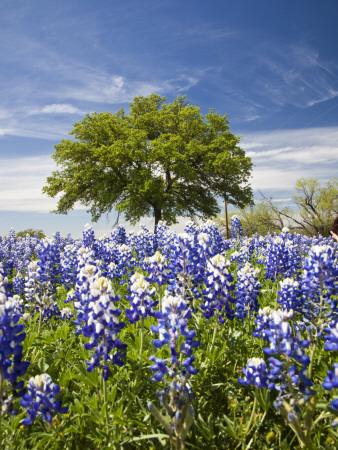 Texas Bluebonnets and Oak Tree, Texas, USA Photographic Print by Julie Eggers