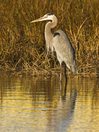 Great Blue Heron Standing in Salt Marsh on the Laguna Madre at South Padre Island, Texas, USA Photographic Print