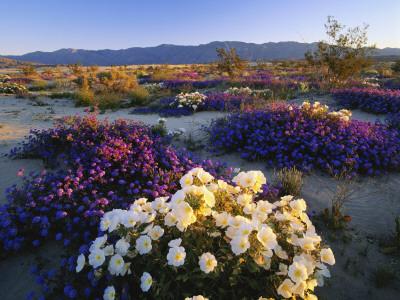 Flowers Growing on Desert, Anza Borrego Desert State Park, California, USA Photographic Print by Adam Jones