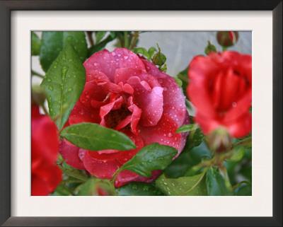 Rosey Dew Drops II Prints by Nicole Katano