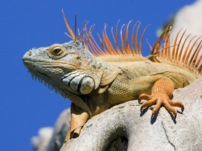 Close-Up of Male Iguana on Tree, Lighthouse Point, Florida, USA Photographic Print by Joanne Williams