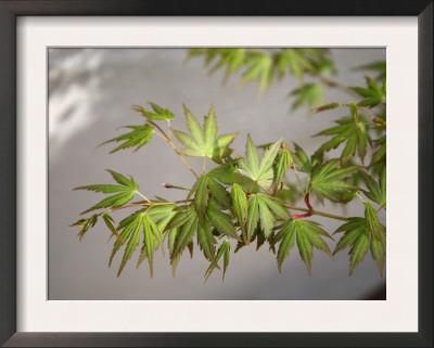 Regal Maple Leaves Prints by Nicole Katano