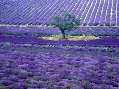 Lavender Fields, Vence, Provence, France Photographic Print