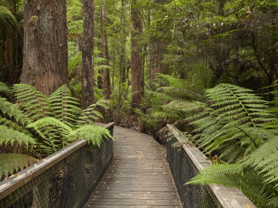 Footpath Through Forest To Newdegate Cave, Hastings Caves State Reserve, Tasmania, Australia Photographic Print by David Wall