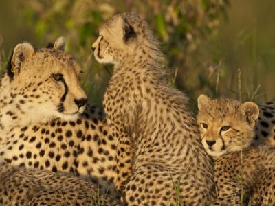 Cheetahs, Upper Mara, Masai Mara Game Reserve, Kenya Photographic Print by Joe & Mary Ann McDonald
