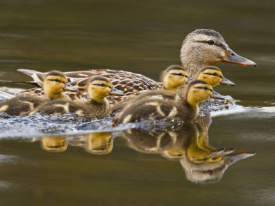 Mallard Duck and Chicks Near Kamloops, British Columbia, Canada Photographic Print by Larry Ditto