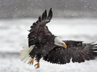 Bald Eagle Flies in Snowstorm, Chilkat Bald Eagle Preserve, Alaska, USA Photographic Print by Cathy & Gordon Illg