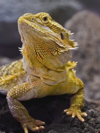 Bearded Dragon Photographic Print by Adam Jones