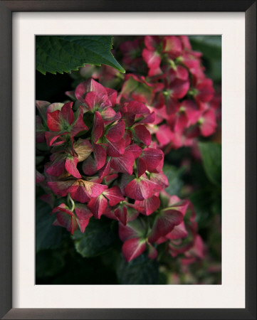 Fuschia Bouquet Prints by Nicole Katano