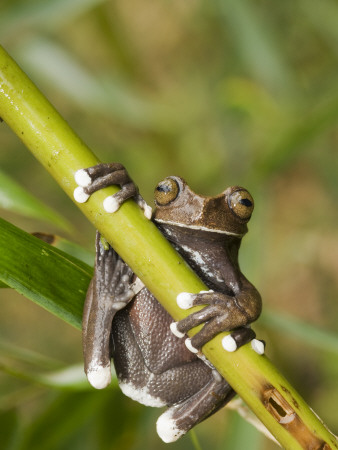 Tapichalaca Tree Frog, Tapichalaca Biological Reserve, Zamora-Chinchipe, Ecuador Photographic Print by Pete Oxford