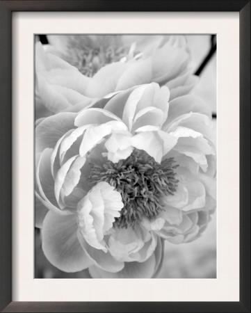 Delicate Blossom III Posters by Nicole Katano