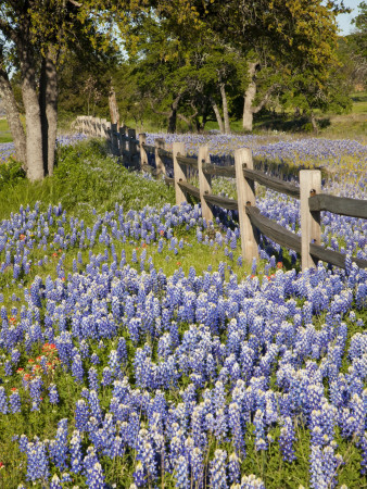Lone Oak Tree Along Fence Line With Spring Bluebonnets, Texas, USA Photographic Print by Julie Eggers