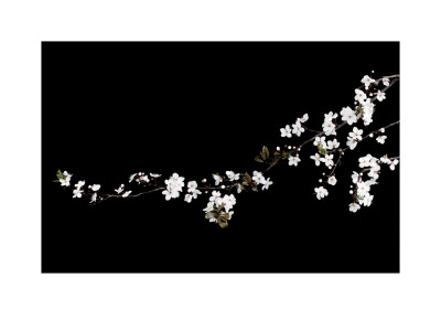 Branch of White Blossom Poster by Ian Winstanley