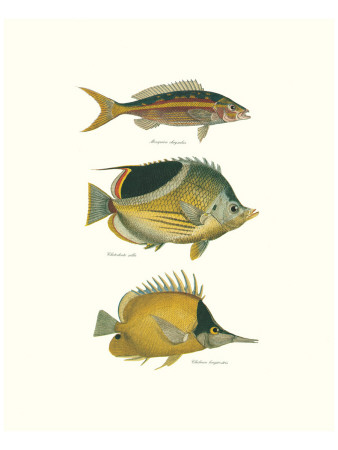 Tropical Fish I Premium Giclee Print by Georges Cuvier