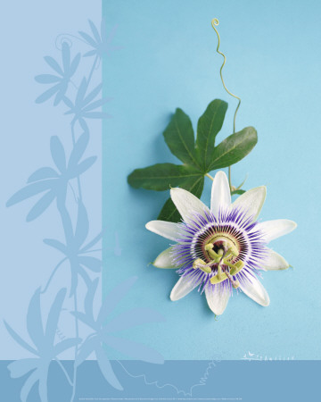 Passion Flower Prints by Amelie Vuillon