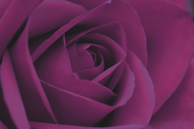 Persian Purple Rose Art Print