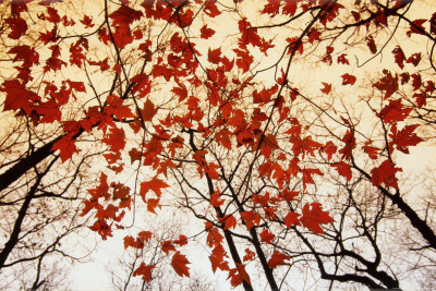 Bare Branches and Red Maple Leaves Affiche