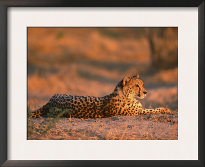 Cheetah, at Sunset, Okavango Delta, Botswana Prints by Pete Oxford