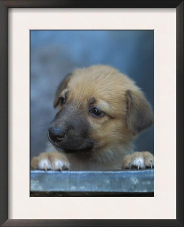 Half / Mixed Breed Puppy Print by Adriano Bacchella
