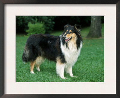 Outdoor Portrait of Collie Dog Prints by Petra Wegner