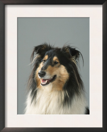 Collie Prints by Petra Wegner