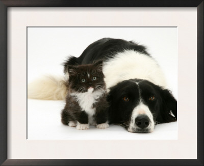 Black-And-White Border Collie Lying Chin on Floor with Black-And-White Kitten Prints by Jane Burton