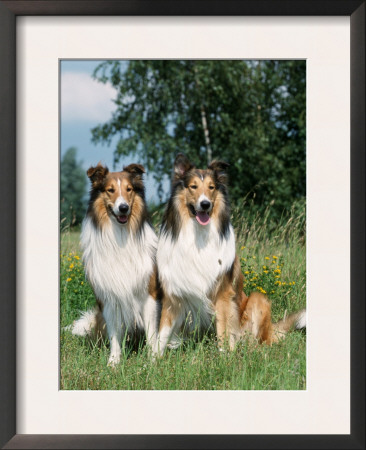 Two Collie Dogs Posters by Petra Wegner