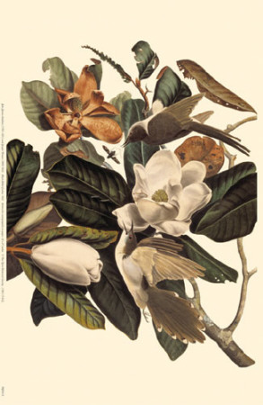 Black-Billed Cuckoo Masterprint