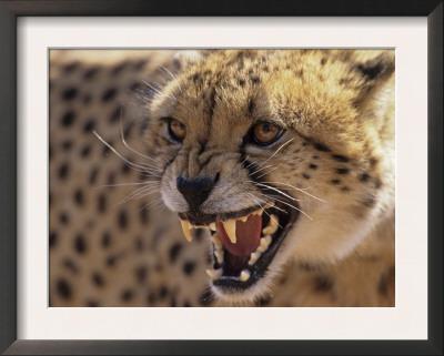 Cheetah Snarling (Acinonyx Jubatus) Dewildt Cheetah Research Centre, South Africa Art by Tony Heald