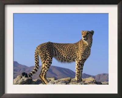 Portrait of Standing Cheetah, Tsaobis Leopard Park, Namibia Prints by Tony Heald
