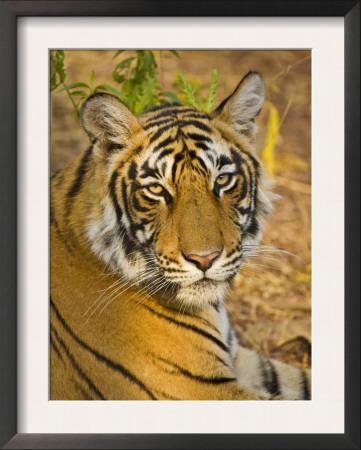 Bengal Tiger Resting Portrait, Ranthambhore Np, Rajasthan, India Prints by T.j. Rich