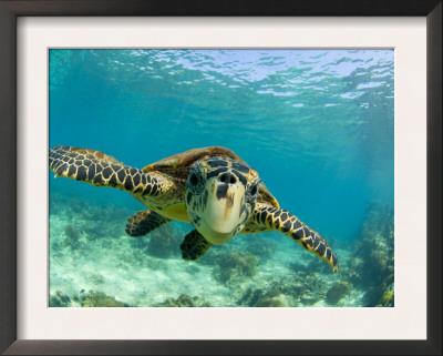 Sea Turtle, Swimming Underwater, Nosy Be, North Madagascar Art by Inaki Relanzon