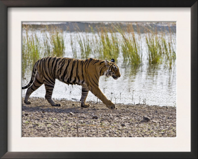 Bengal Tiger Walking by Lake, Ranthambhore Np, Rajasthan, India Poster by T.j. Rich