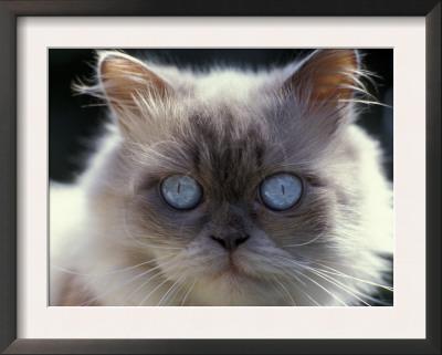 cat eyes close up. Persian Cream Cat, Close Up of