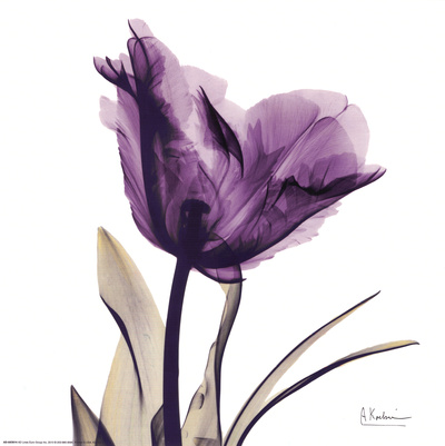 Royal Purple Parrot Tulip Kunsttryk