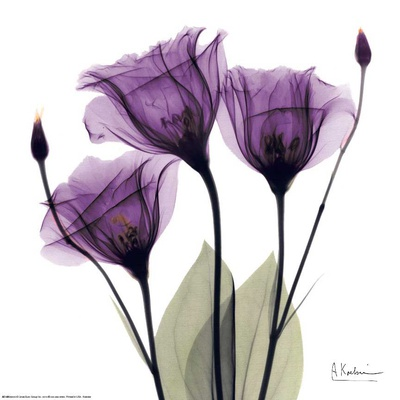 Royal Purple Gentian Trio Prints by Albert Koetsier